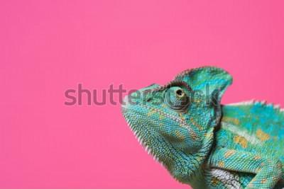 Väggdekor närbild av söta färgglada exotiska kameleoner isolerad på rosa