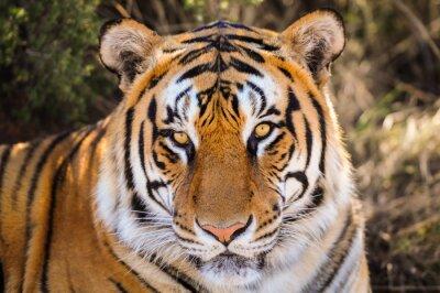 Väggdekor Närbild porträtt av en tiger