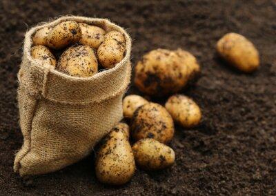 Väggdekor Nyskördade potatis