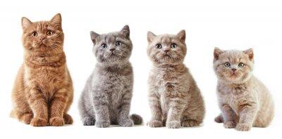 Väggdekor olika brittiskt kattungar