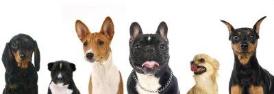 Väggdekor Olika raser av en liten hund