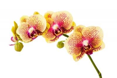 Väggdekor Orkidé blommor isolerad på vit bakgrund.