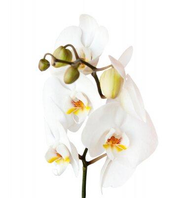 Väggdekor orkidé, isolerad på vit bakgrund