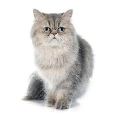 Väggdekor persisk katt
