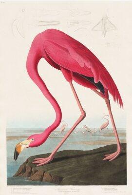 Väggdekor Pink Flamingo from Birds of America (1827) av John James Audubon (1785 - 1851), etsat av Robert Havell (1793 - 1878)