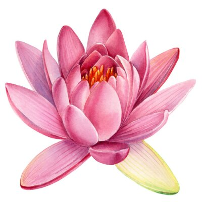 Väggdekor Pink lotus flower on an isolated white background, watercolor clipart, water lily