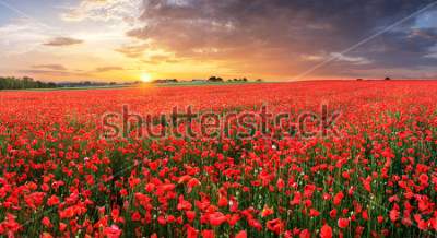 Väggdekor Poppy flowers meadow and nice sunset scene
