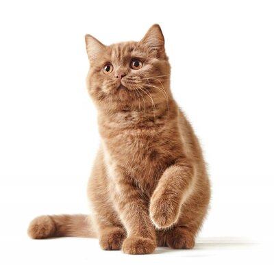 Väggdekor porträtt av brittisk kattunge