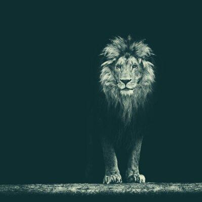 Väggdekor Porträtt av en vacker lejon, lejon i mörkret