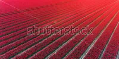 Väggdekor Red tulip field Netherlands