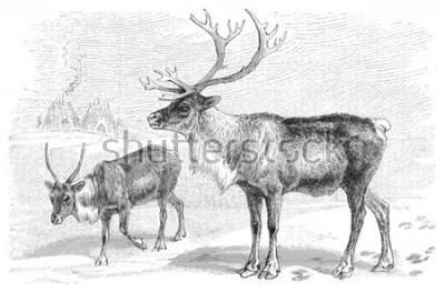 Väggdekor Reindeer (Rangifer tarandus) / vintage illustration from Meyers Konversations-Lexikon 1897
