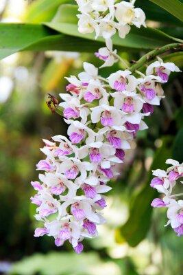 Väggdekor Rhynchostylis orkidé.