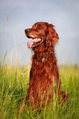 Väggdekor Röd irländsk setter hund