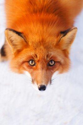 Väggdekor röd räv