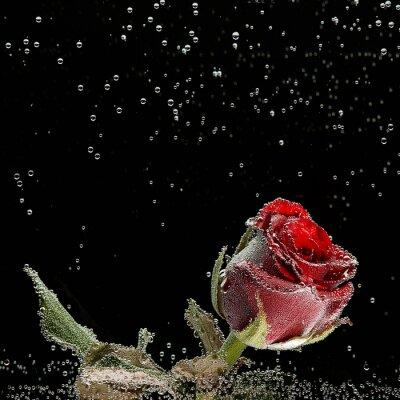 Väggdekor Röd ros i dagg droppar på en svart bakgrund