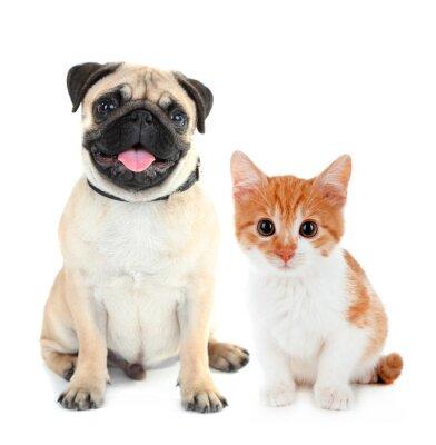 Väggdekor Rolig mops hund och liten röd kattunge isolerad på vitt
