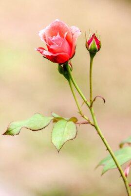 Väggdekor ros champêtre