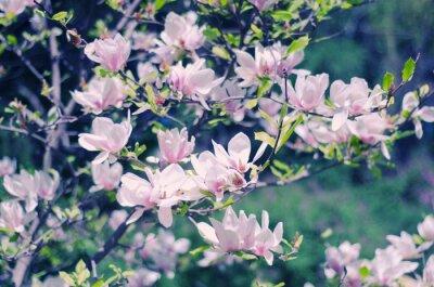 Väggdekor Rosa magnolia blommor som en vacker blommig fjäder bakgrund (grunt DOF, retrostil)