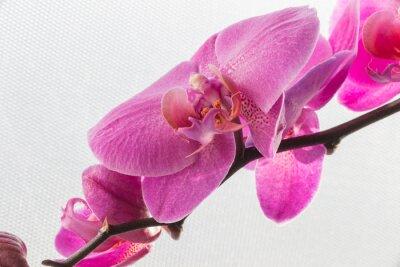 Väggdekor Rosa orkidé / blomma isolerad på den vita bakgrunder