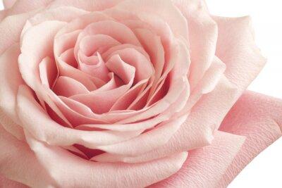 Väggdekor rosa ros närbild