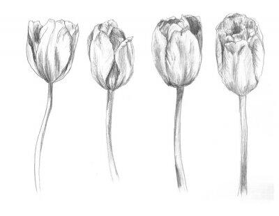 Väggdekor Set of hand drawn tulips. Sketch, flower, illustration