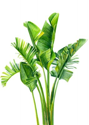 Väggdekor set of jungle leaves, strelitzia on an isolated white background, botanical illustration, watercolor tropical plants