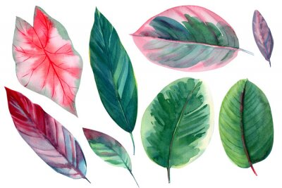 Väggdekor set of leaves on isolated white background, watercolor illustration, pink and green leaves of tropical plants, rose-painted calathea, Caladium Plants