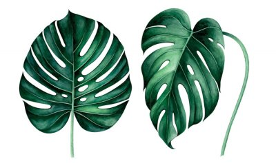 Väggdekor Set of tropical monstera leaves isolated on white. Watercolor illustration.