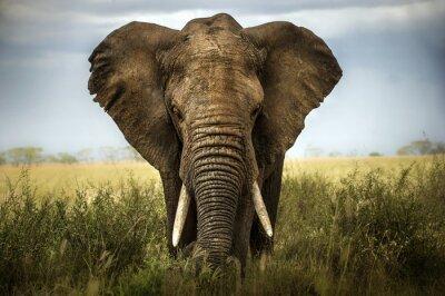 Väggdekor sfondo di elefante
