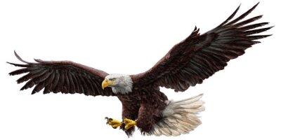 Väggdekor Skallig örn flygande rita och måla på vit bakgrund vektor illustration.