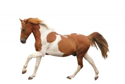 Väggdekor Skewbald ponny galopperande isolerade på vitt