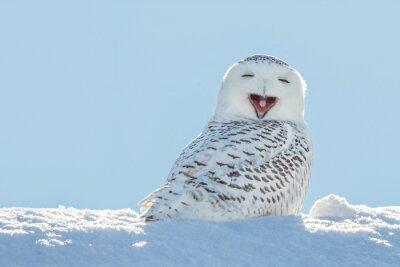 Väggdekor Snowy Owl - Gäspningar / le i Snow