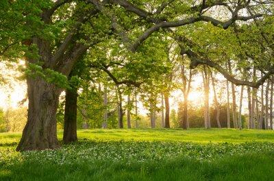 Väggdekor Solljus i den gröna skogen våren