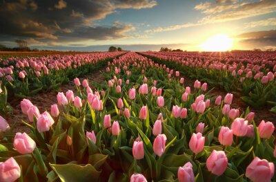 Väggdekor Solnedgång över rosa tulpanfält