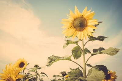 Väggdekor solros blomma fält blå himmel retro