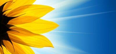 Väggdekor Solros blomma solsken på blå himmel bakgrund