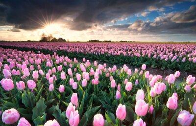Väggdekor Solsken över rosa tulpanfält