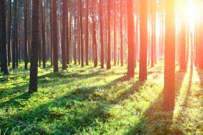 Väggdekor Soluppgång i tallskog