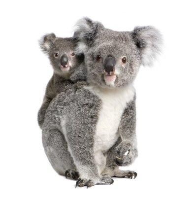Väggdekor Stående av Koala björnar, framför vit bakgrund