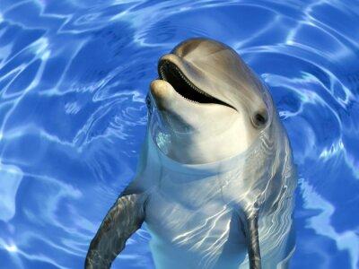 Väggdekor Stående d'un dauphin commun