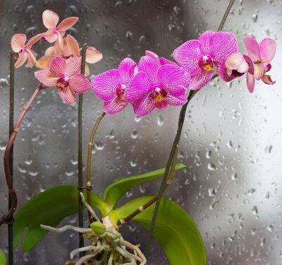 Väggdekor Stjälkar med orkidé blommor på en bakgrund fönster med regndroppar
