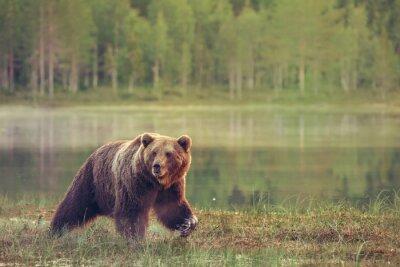 Väggdekor Stor male björn gå i mossen vid solnedgången