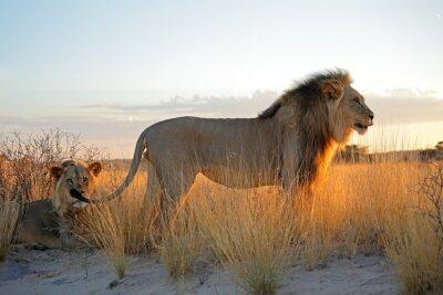 Väggdekor Stora manliga afrikanska lejon (Panthera leo) i tidigt morgonljus, Kalahariöknen, Sydafrika.