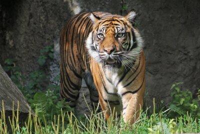 Väggdekor Sumatran tiger i Warszawa Zoo. Solig sommardag.