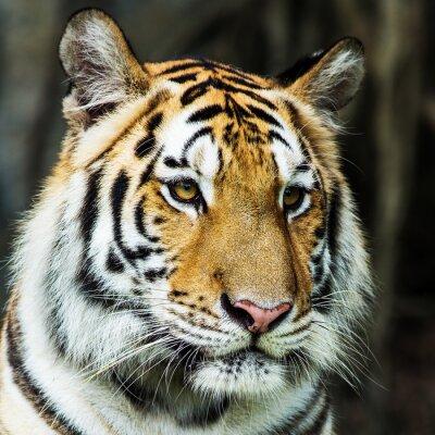 Väggdekor tiger