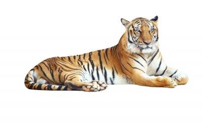 Väggdekor Tiger tittar kamera för bana på vit bakgrund