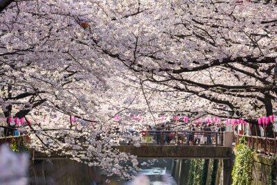 Väggdekor TOKYO, JAPAN - 30 mars: Turist oidentifierad ta bilden med Cherry blossom blomma tagit 30 mar 2015 i Naga Meguro-området, Tokyo. Området är populärt Sakura plats i Tokyo med vacker kanal