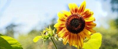 Väggdekor tournesol jaune en pleine Floraison