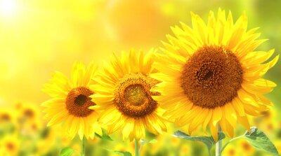 Väggdekor Tre ljusa gula solrosor
