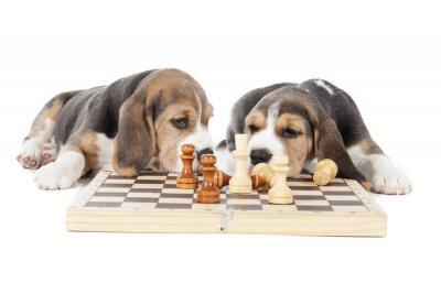 Väggdekor två beaglevalpar spelar schack på en vit bakgrund i studio